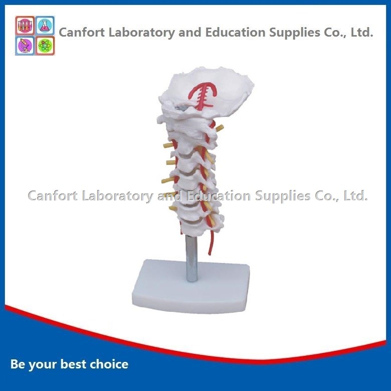 Cervical Spine and Occipital Bone Model