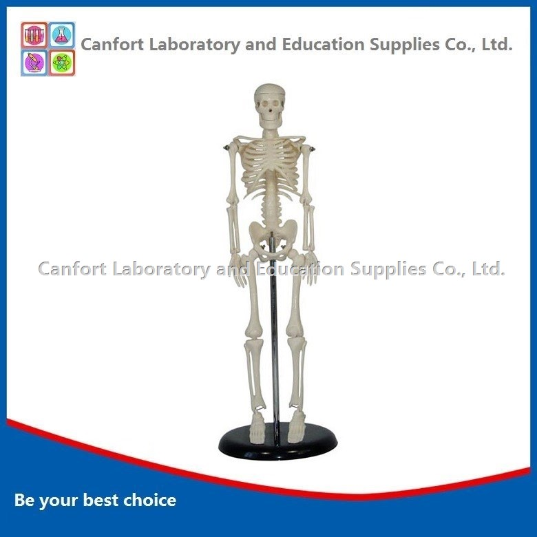 Human Skeleton Model with Stand (45cm)