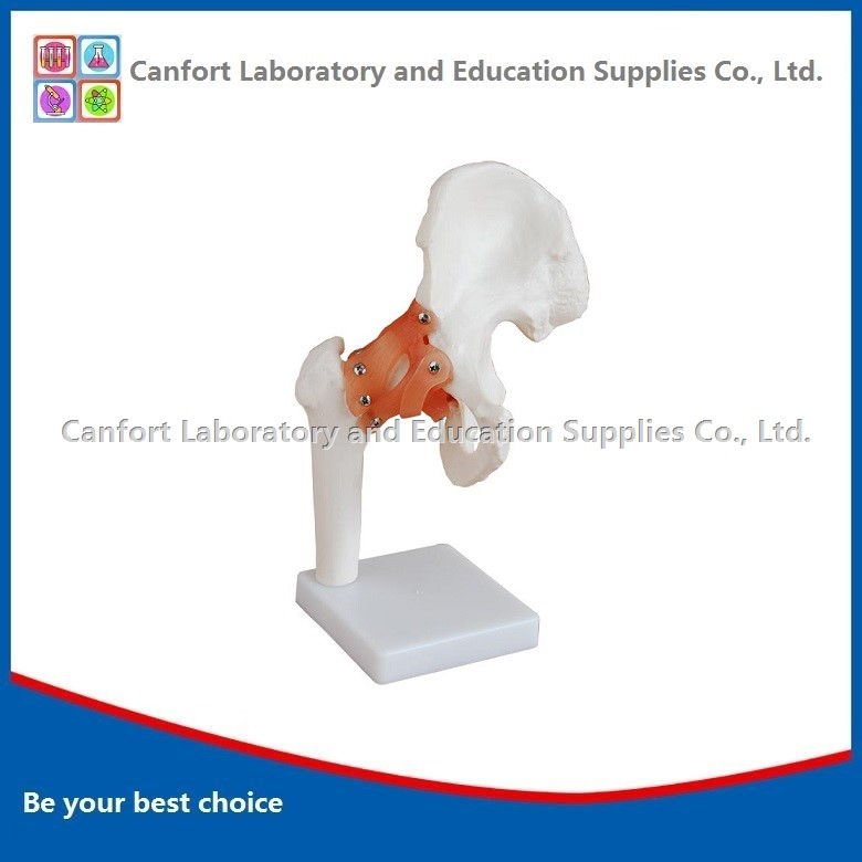 Natural Size Hip Joint Model
