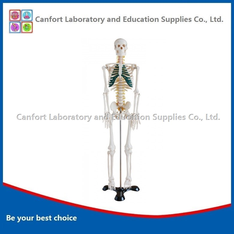 Human skeleton model with nerve (85cm)