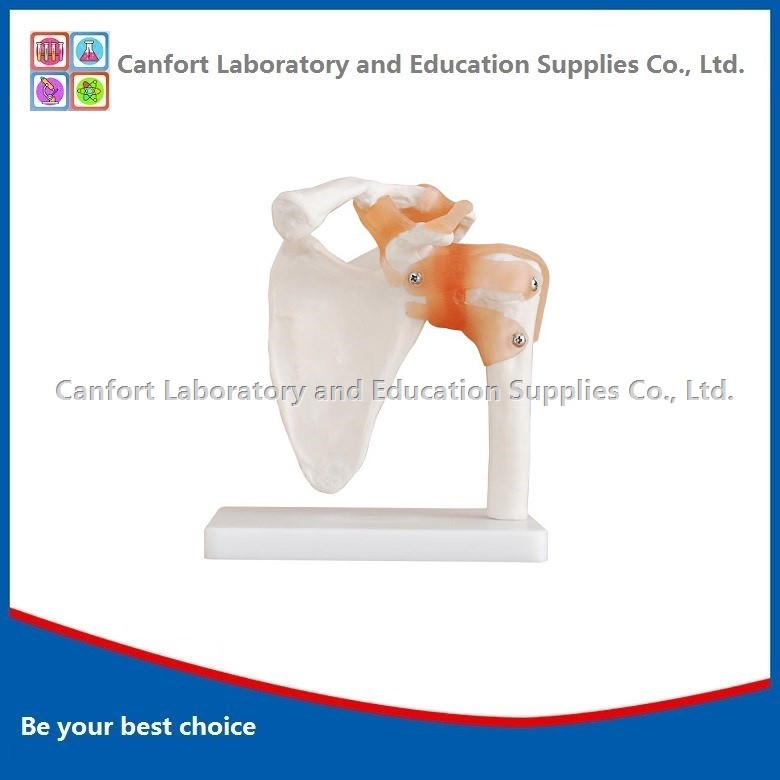 Natural Size Shoulder Joint Model With Ligament