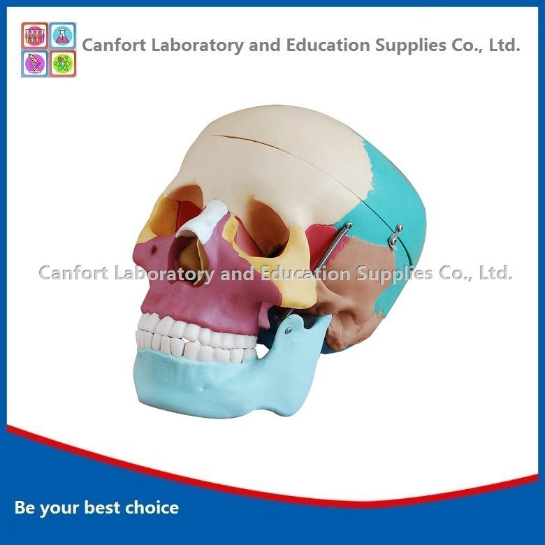 Natural size skull partition coloring model