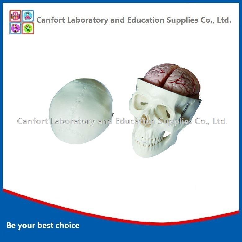 Natural size skull and cerebral artery model
