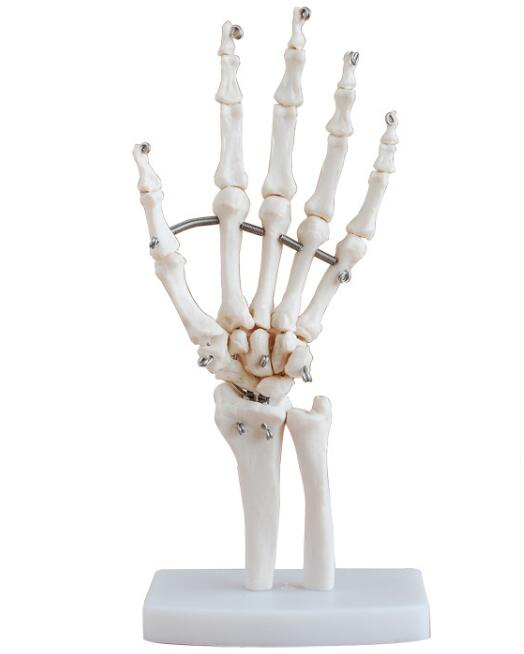 Life size Hand joints model