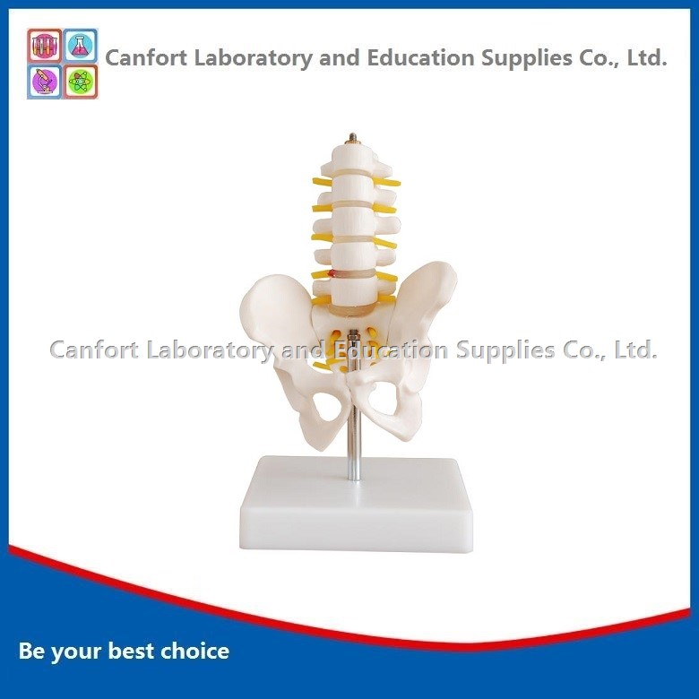 Small Male Pelvic Girdle Five Lumbar Spine Model